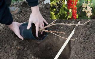 Как садить смородину осенью