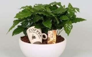Цветок кофейное дерево выращивание дома