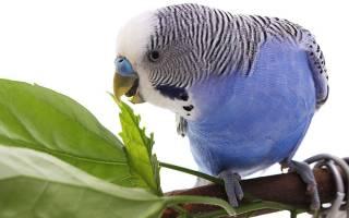 Чем кормить молодого волнистого попугая