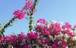 Цветы бугенвиллия для сада уход