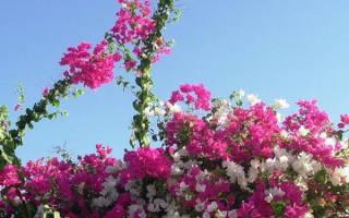 Бугенвиллия садовая посадка и уход