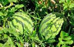 Арбуз выращивание и уход в открытом грунте