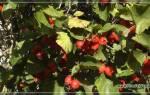Вырастить боярышник из семян в домашних условиях