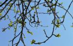 Копулировка плодовых деревьев