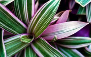 Рео цветок польза и вред