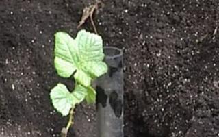 Посадка винограда осенью саженцами в средней полосе