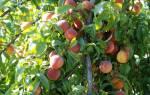 Осенняя обрезка персиковых деревьев