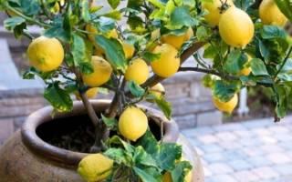 Можно ли вырастить лимон из косточки дома
