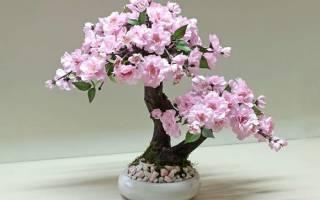Сакура розовая как вырастить в горшке