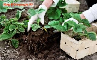 Можно ли пересаживать клубнику осенью
