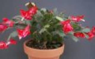 Декабрист цветок уход в домашних условиях размножение