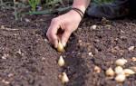 Осенняя посадка лука и чеснока