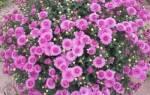 Хризантема бордюрная посадка и уход