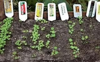 Как правильно выращивать клубнику в теплице
