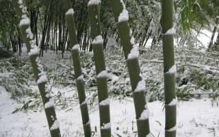 Бамбук это дерево или кустарник
