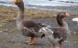 Самая крупная порода гусей в России