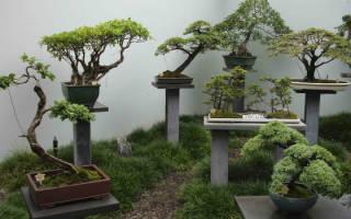 Банзай дерево уход и выращивание