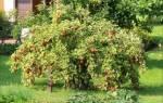 Посадить смородину весной рекомендации