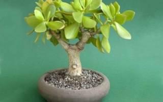 Как вырастить денежное дерево с толстым стволом