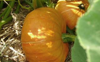 Выращивание тыквы в открытом грунте в подмосковье