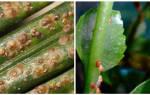 Щитовка на комнатных растениях как бороться
