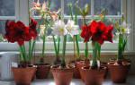 Комнатный цветок амариллис уход