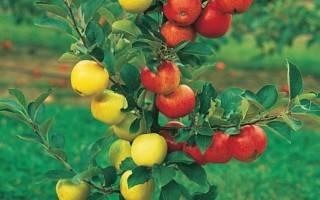 Окулировка яблони весной