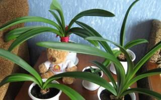 Почему не цветет гиппеаструм что делать