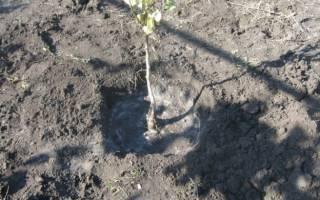 Как правильно посадить грушу осенью