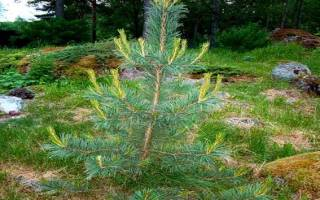 Определение возраста дерева по диаметру ствола