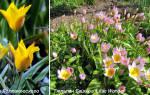 Тюльпан ботанический посадка и уход