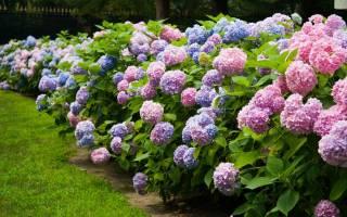 Как ухаживать за гортензией в саду