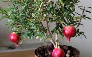 Гранатовое дерево уход в домашних условиях