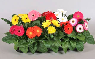 Комнатные цветы гербера уход в домашних условиях