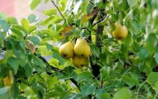 Посадка яблонь и груш осенью
