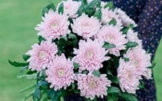 Как вырастить хризантему из срезанного цветка