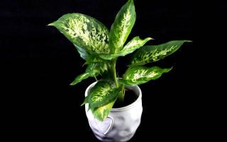 Цветок диффенбахия уход в домашних условиях