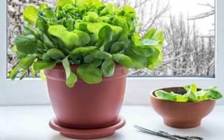 Как вырастить шпинат в домашних условиях