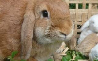 Выращивание кроликов на даче