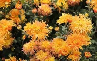Корейская хризантема посадка и уход