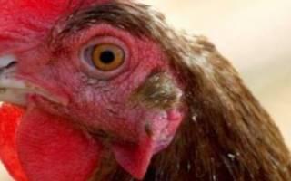 У курицы посинел гребень что это