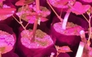 Черенкование винограда осенью в домашних условиях