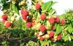 Малина сорт таруса малиновое дерево