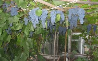 Уход за виноградом осенью в подмосковье