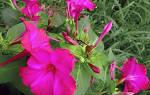Цветок ночная красавица как выращивать
