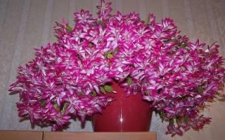 Чем подкормить цветок декабрист чтобы он цвел