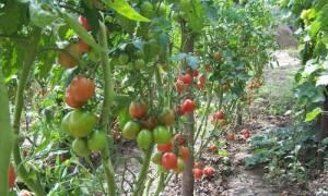 Ранние сорта томатов для теплиц в подмосковье