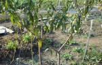 Как правильно посадить персик осенью