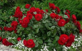 Почему розы превращаются в шиповник что делать