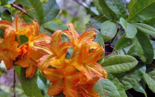 Азалия в саду посадка и уход